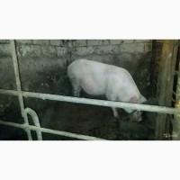 Свиноматка (возраст 2 года) Крупная белая (русская белая) порода