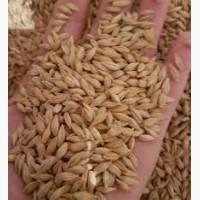 Семена Канадского ячменя Элита трансгенный сорт не ГМО
