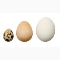 Инкубационное яйцо бройлера, кур несушек, индюков, гусей, уток, цесарок, перепелов