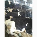 Быки Телки Коровы на убой
