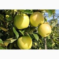 Яблоки Голден Делишек