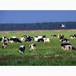 Коровы и быки в Брянской области