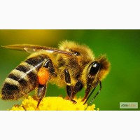 Пчелопакеты карника карпатка на 2019год