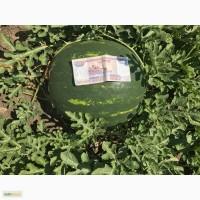 Кубанский арбуз оптом с поля фх