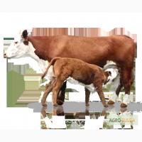 Продам коров, телок, бычков, нетелей