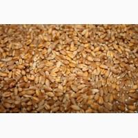 Закупаем пшеницу 5 класс от 300 т