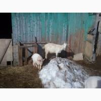Продам молодых козочек и козликов, порода зааненская и простая белая русская