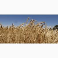 Семена ячменя озимого Добрыня-3, Жигули, Сармат
