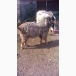 Продаются козы, козлята молочная порода разных возрастов