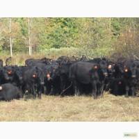 Продам племенной скот (КРС)