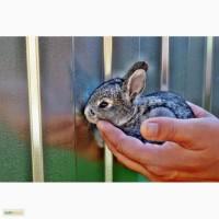 Распродажа племенных кроликов Советская Шиншилла