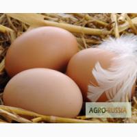 Продаем инкубационное яйцо утки Мулард