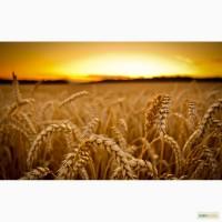 Продам: Семена пшеницы Маргарита, РС1, ЭС