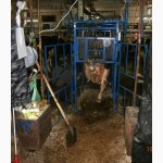 Обрезка копыт коров