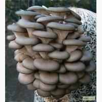 Продам грибы вешенка свежая