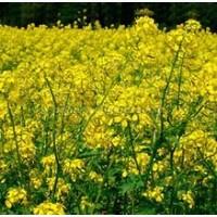 Горчица желтая семена Люкс