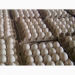 Инкубационное яйцо. Утка Агидель, Курганская обл