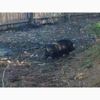 Вьетнамские свиньи матки