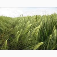Семена ячменя ярового Вакула РС-1