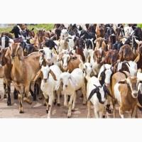 Ищу козла нубийского для вязки