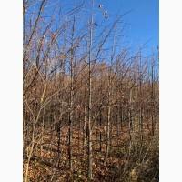 Крупномеры липы мелколистной.Производим посадку деревьев