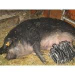 Свиноматки венгерской мангалицы