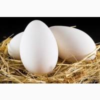 Гусиные инкубационные яйца в Башкирии. Сезон 2021. В наличии