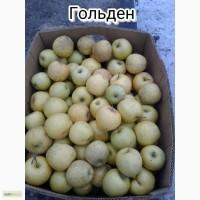 Продам яблоки 1-сорт Голден Делишес и Голден Раш