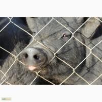 Продаем 3х-месячных вислобрюхих свиней