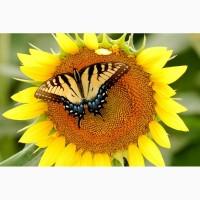 Гибриды семена подсолнечника Неома, Санай, Тристан, Фортими (Сингента, Syngenta)