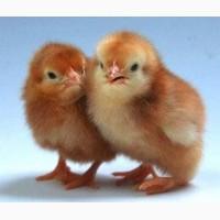Цыплята несушку Ломан Браун