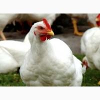 Бройлерные цыплята КОББ-500, Куры несушка и молодка