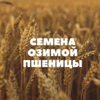 Продам семена озимой пшеницы на посев