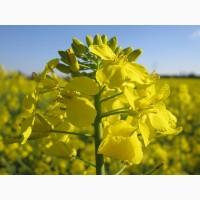 Семена рапса Канадский трансгенный сорт и гибрид