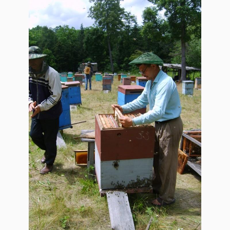 Фото 4. Пчелиная моль восковая с личинкой огневки на меду