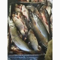 Северная речная рыба