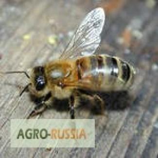 Пчелопакеты 2018 с бесплатной доставкой