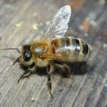 Пчелопакеты с бесплатной доставкой по всей России