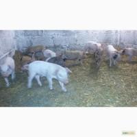 Продам поросят породы СМ (скороспелая мясная)