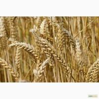 Продам: Семена пшеницы Эстер, РС1, ЭС