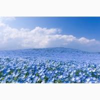Лен - семена Небесный и ВНИИМК 620 1-2 репродукции 40-35 руб