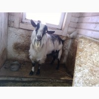 Продам племяное стадо коз и козла документы ADGA