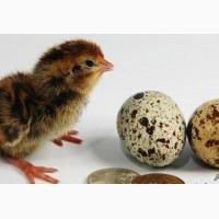 Перепелята и инкубационные яйца