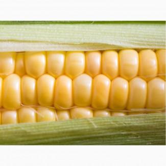 Гибриды семена кукурузы Пионер