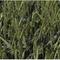 Семена озимой мягкой пшеницы сорт Баграт ЭС/РС1
