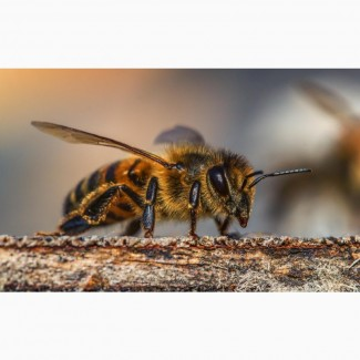 Продам Пчелопакеты Карника 2021