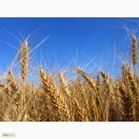 Предлагают российскую пшеницу 2-кл