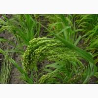 Семена суданская трава 40 тонн Черноморка Землячка 1-массовая репр
