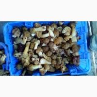 Продам грибы сморчки свежие