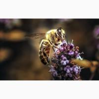 Пчеломатки карпатка и карника